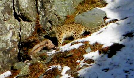 snow leopard seen at kugti wildlife sanctuary bharmour